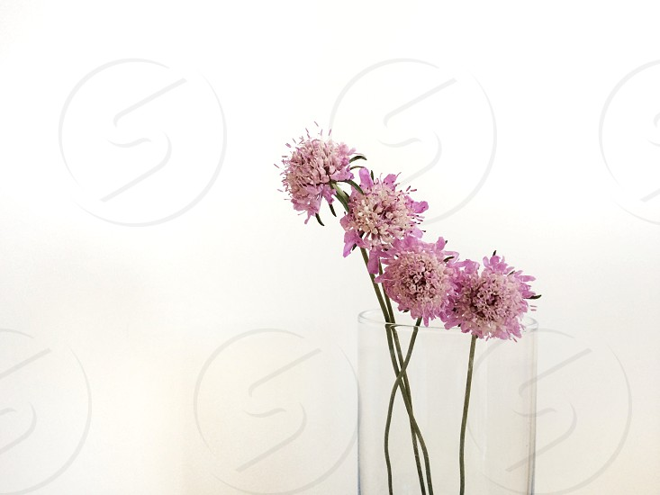 pincushion flowers in a basel  photo