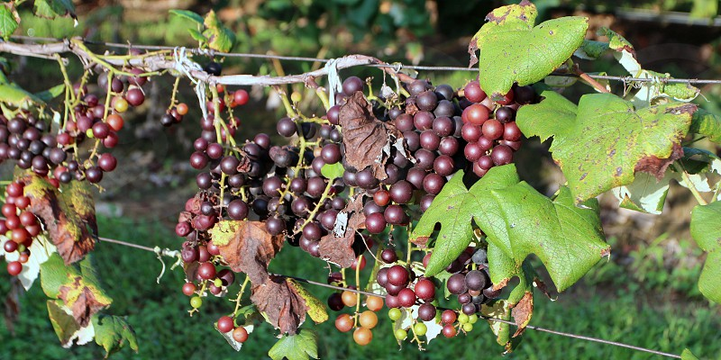 Purple and black grapes on woody vine in vineyard photo
