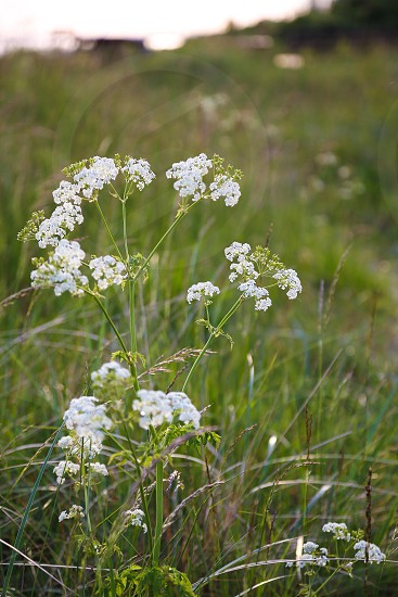 Nature landscape Green flower flowers white wild wildflowers summer evening beach coast coastline grass weed beauty beautiful natural landscapes background backgrounds  photo