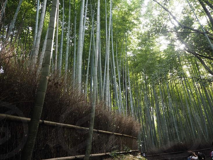 京都 嵐山 竹 photo