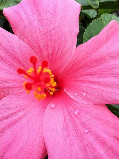 pink Hibiscus flower photo