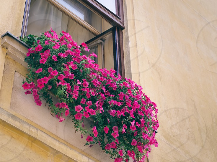 Many Pink Flowers in Window of an Old House Closeup photo