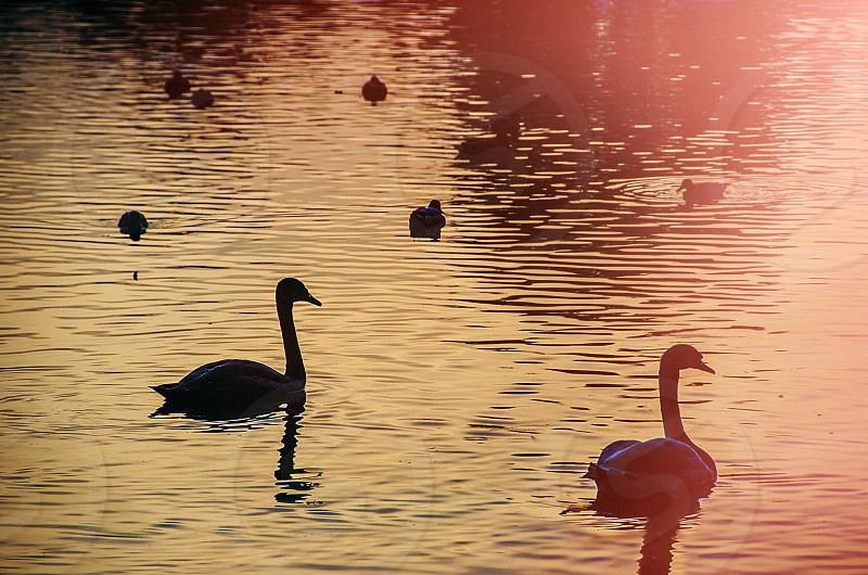 Late summer swans on the lake at dusk. photo