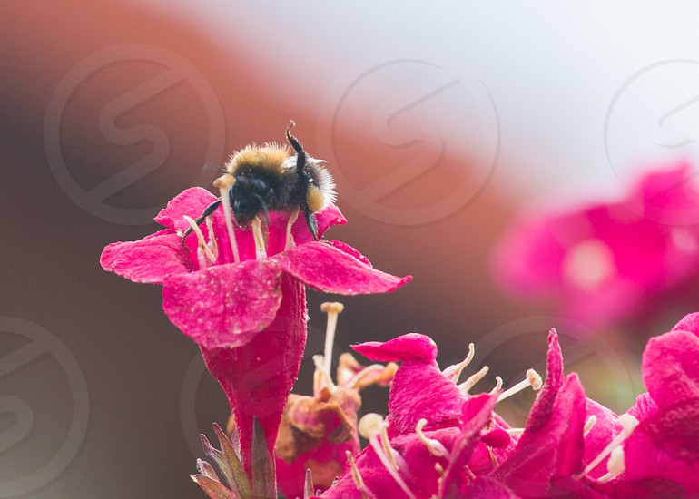 Dance of the bumblebee! photo