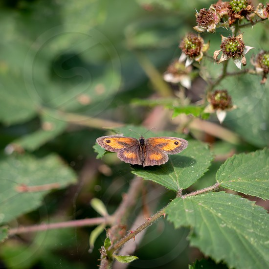 The Gatekeeper or Hedge Brown (Pyronia tithonus) butterfly resting on a Blackberry leaf photo