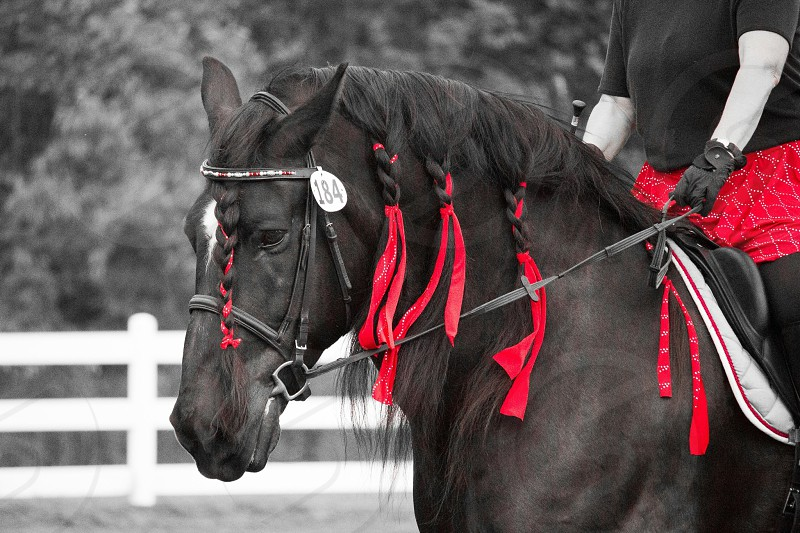 Percheron horse dressage  photo