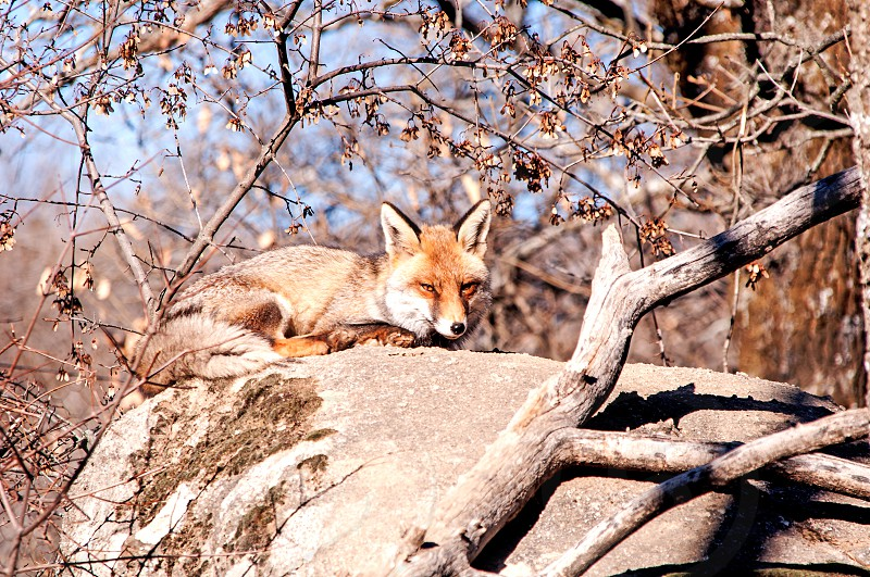 Fox resting on the rock in the forest photo