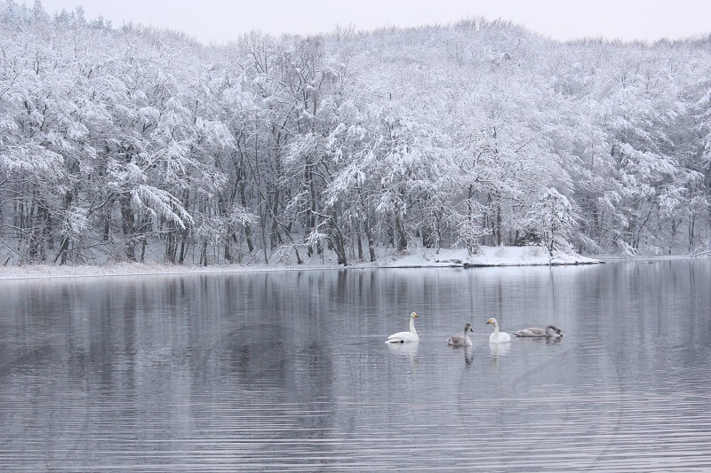 4 swans on body of water near snow covered trees during daytime photo