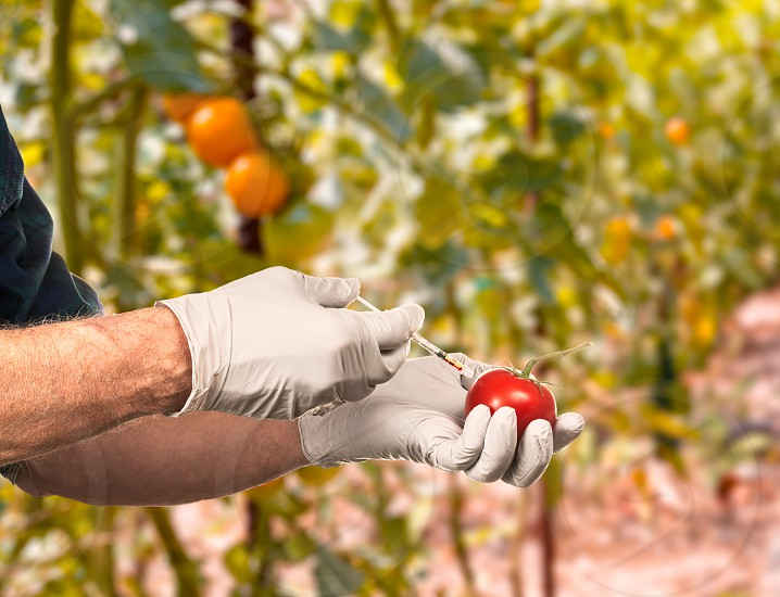 Senior man holding a bright red large organic tomato and injecting it with red liquid in concept for GMO food and genetic modification of plants. Image has garden full of tomato plants on a bright sunny day in background photo