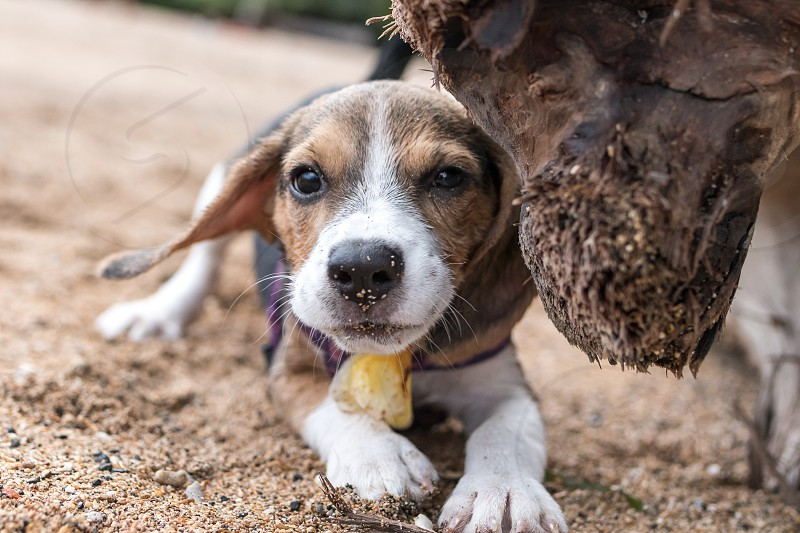 Small dog beagle puppy playing on the Sanur beach of tropical island Bali Indonesia. photo