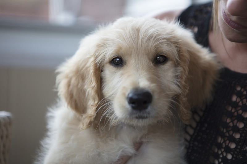 A labradoodle puppy photo