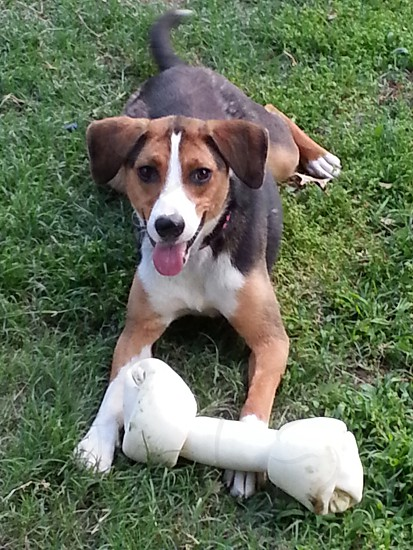 Dog with large rawhide bone. Bone doggie pup puppy canine beagle chew chewing photo
