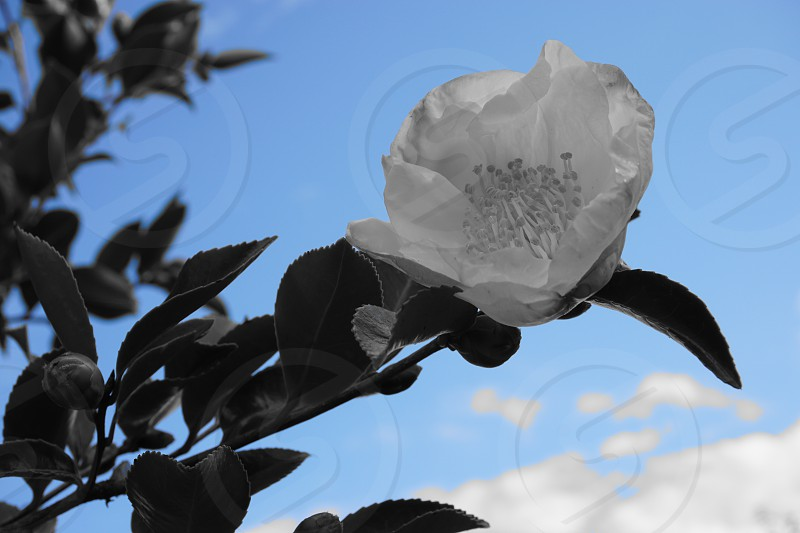 Blue sky flower photo