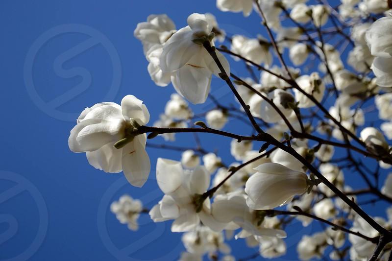 Magnolias photo