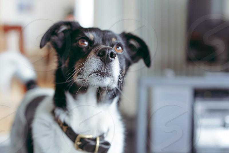 Dog  nose alert face looking up interested begging photo