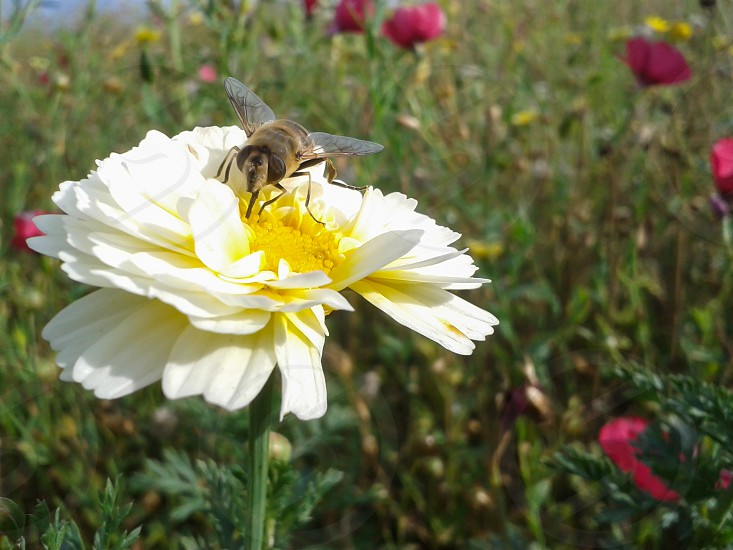 A macro photo of a pollinator insect - i guess it's an hoverfly - on a white and yellow flower in summer. photo