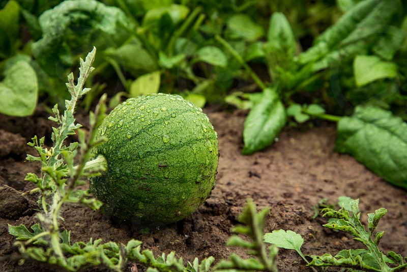 Watermelon growing on a garden bed photo