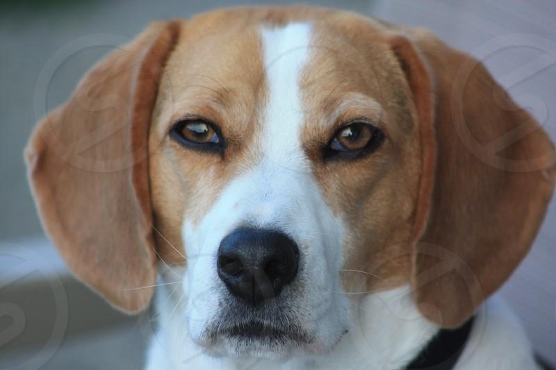 The Beagle Stare photo