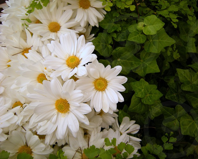 Daisies and ivy photo