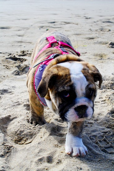 Bulldog puppy beach photo
