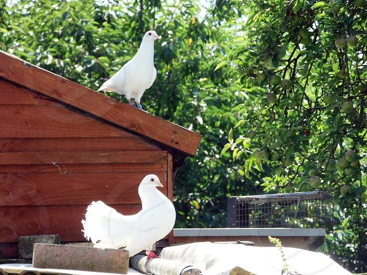 white dove birds on roof photo
