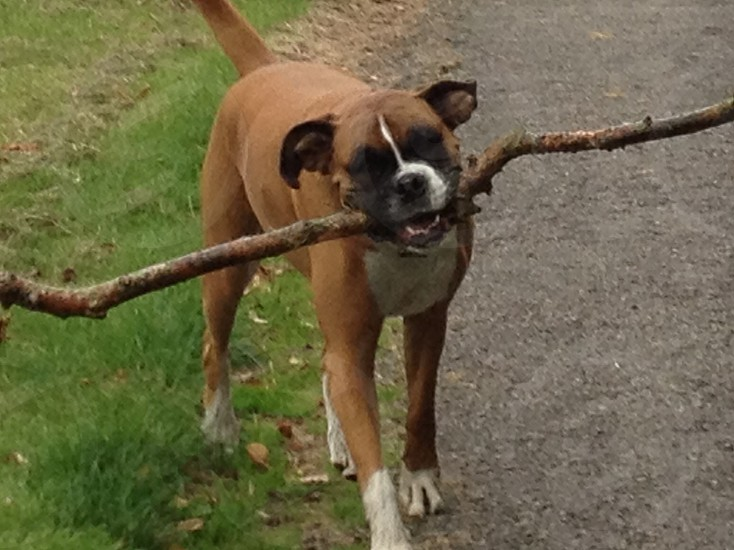Happy boxer dog playing with a stick photo