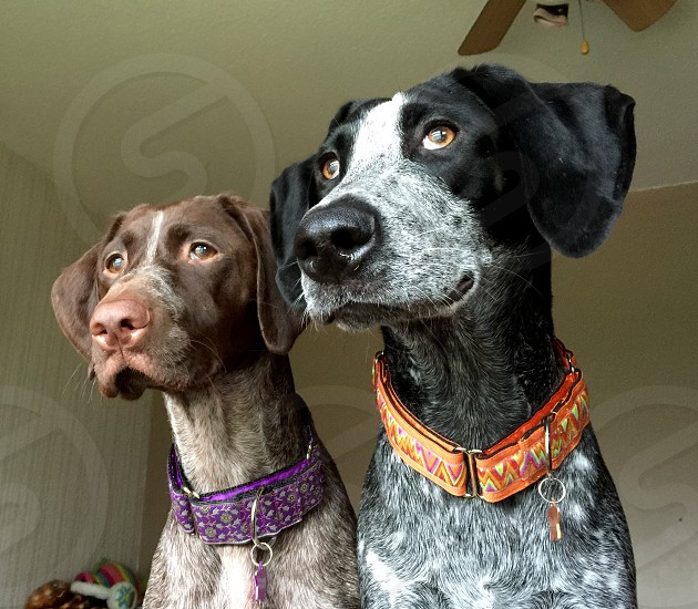 German Shorthaired Pointer and Pointer X  photo