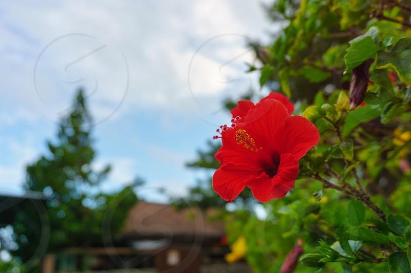 ハイビスカス Hibiscus photo