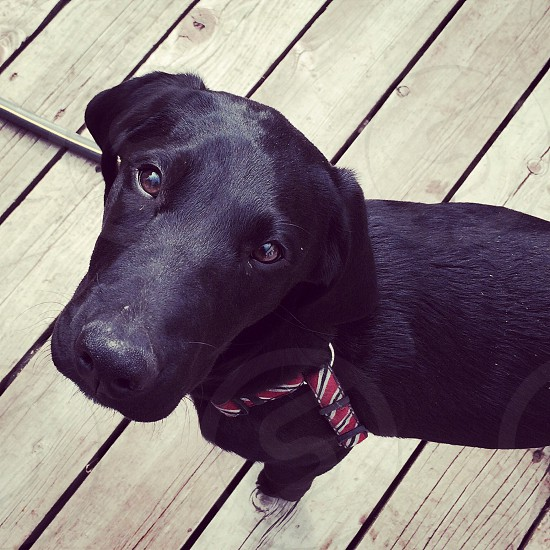 Black Labrador puppy.  photo