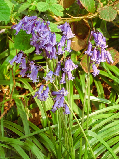 Bluebell flower plant wild nature woods photo