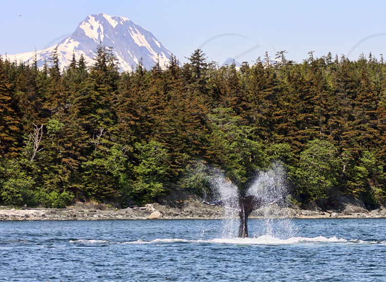A humpback wall dances with its tail off Juneau Alaska. whale humpback whale water Juneau Alaska photo