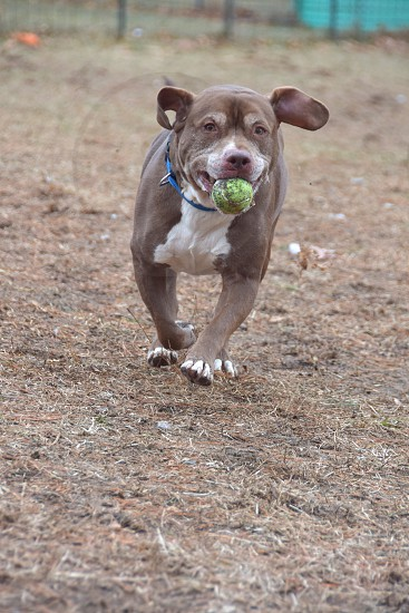 Playful Pets: Pit bull mixed dog playing fetch smiling with the ball photo