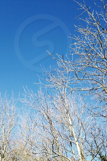 blue sky white branches  photo