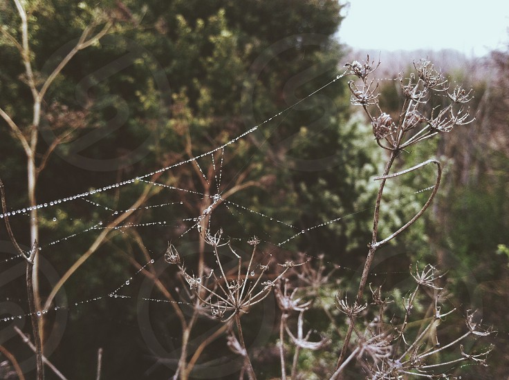 Spiderwebs and dewdrops on a foggy morning photo