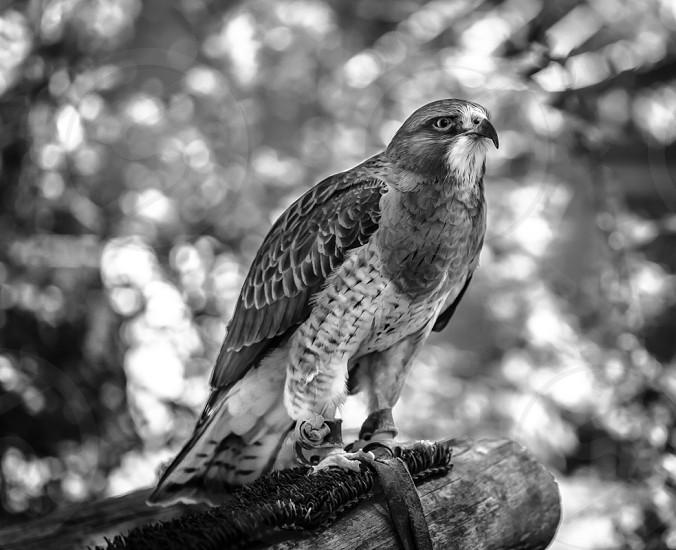 Rescue Hawk photo