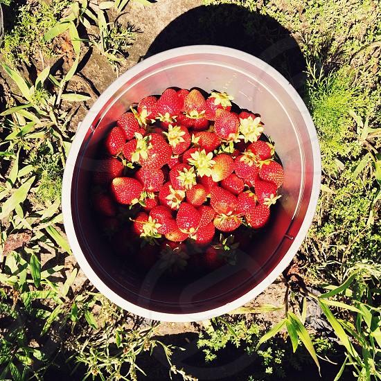 Strawberries farm bucket picking photo
