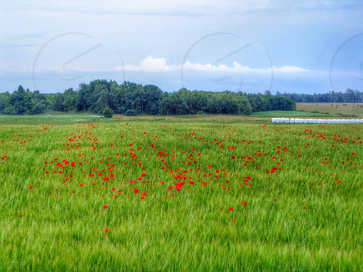 green grass with red flower photo