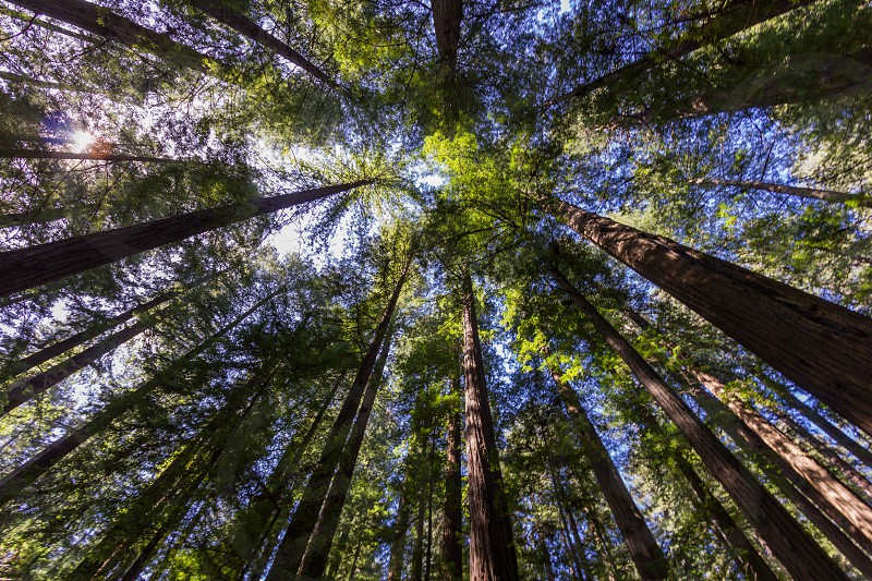 Feeling small as I look up at redwood giants near the Avenue of the Giants in California photo