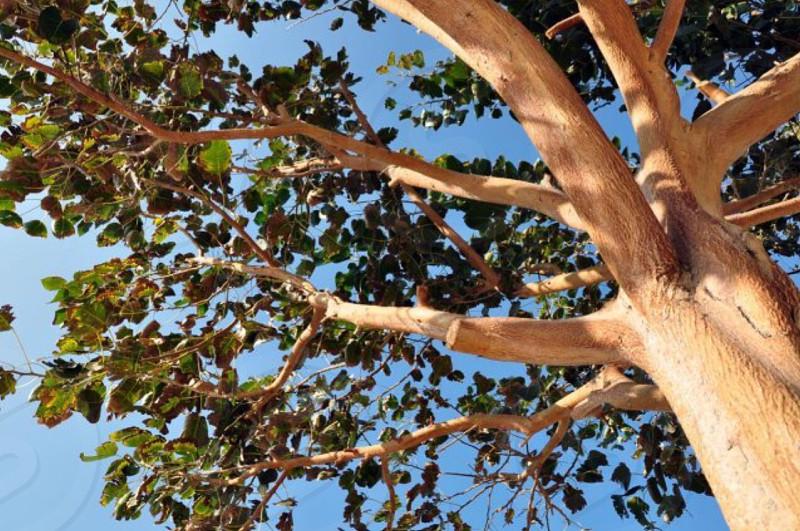 beige oak tree photo