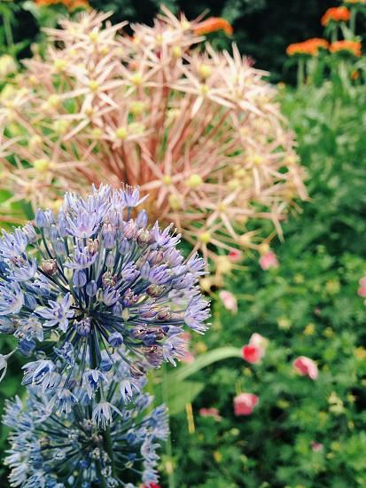 purple allium flower in closeup photo photo