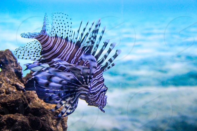 A lionfish (I believe?) having a swim photo