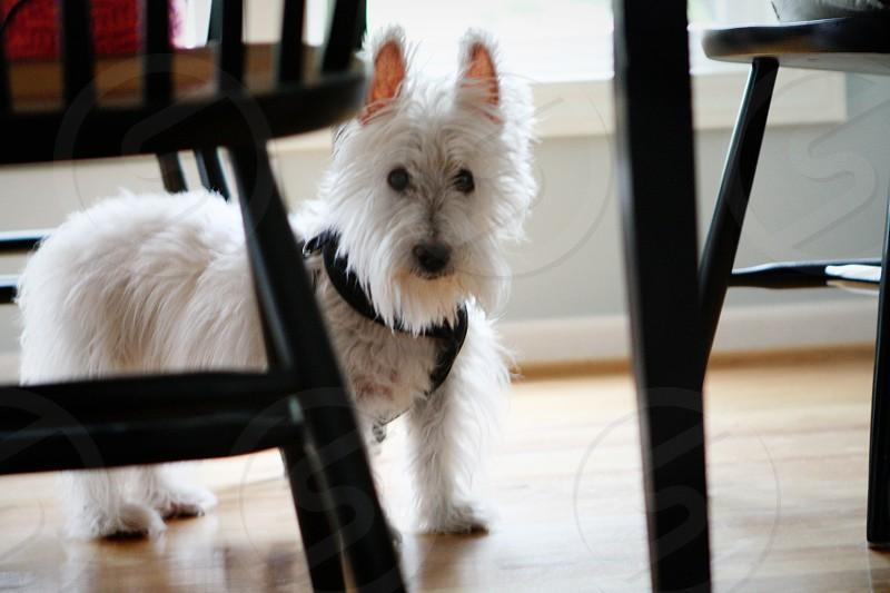 Westie dog photo