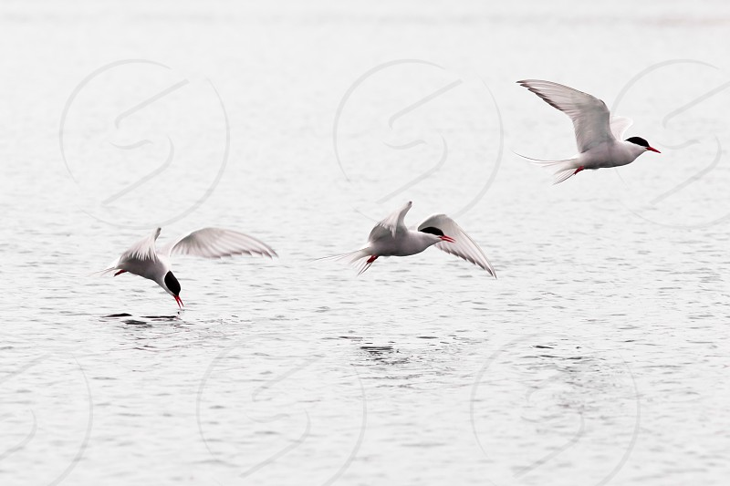 Stroboscopic study of Arctic Tern Sterna paradisaea picking up insect from water surface in full speed flight photo