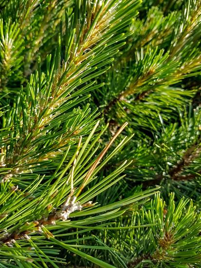 Pine Needles photo