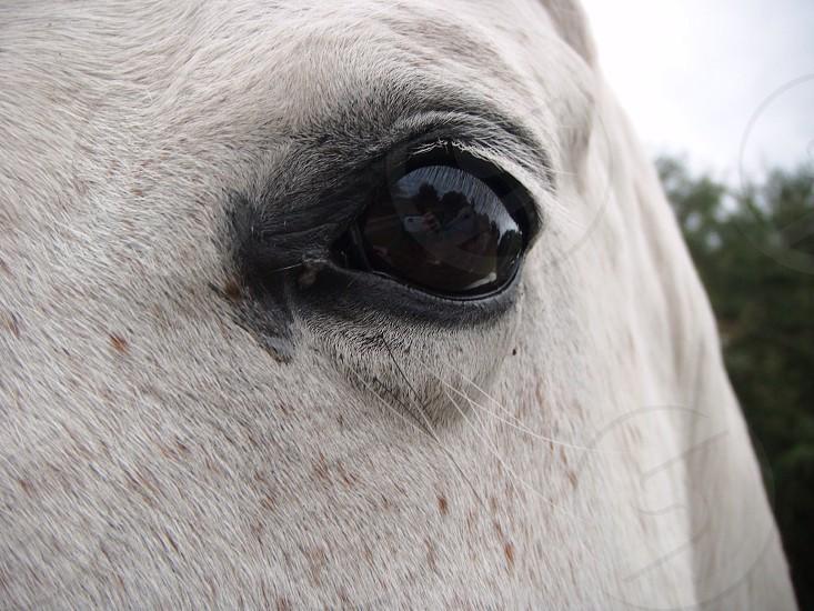 white horse's black eye photo