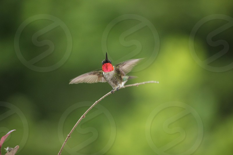 Male hummingbird on branch photo