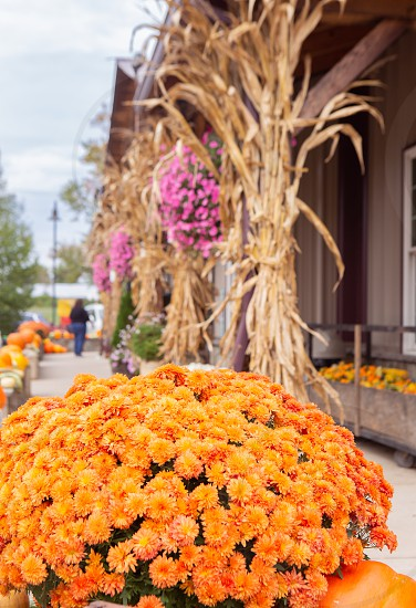 Chrysanthemums corn stalks and pumpkins on display at a local country store photo