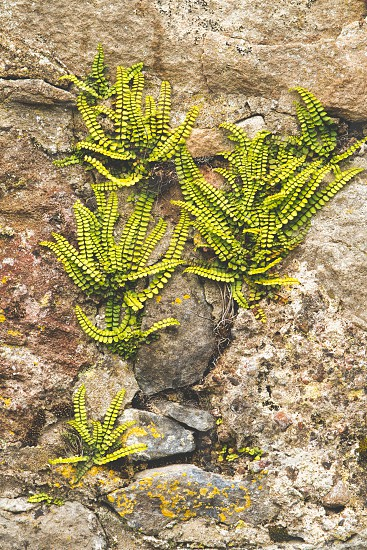 Green ferns growing out of a stone wall photo
