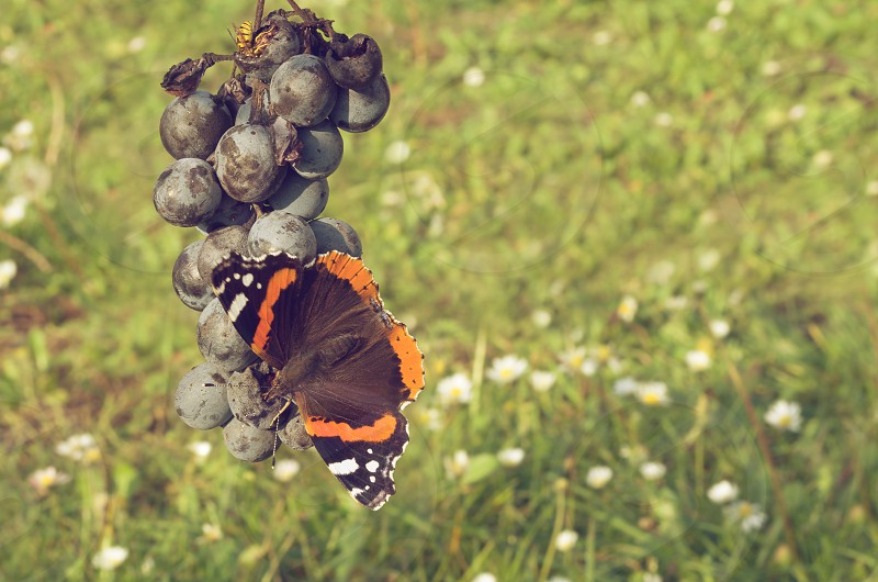 agriculture autumn beautiful bee berry blue branch butterfly closeup cluster color flower food fresh fruit garden grape grass green healthy insect juicy light nature orange organic purple red admiral ripe suck sweet vanessa atalanta vespula vulgaris vineyard vitis wasp white  photo