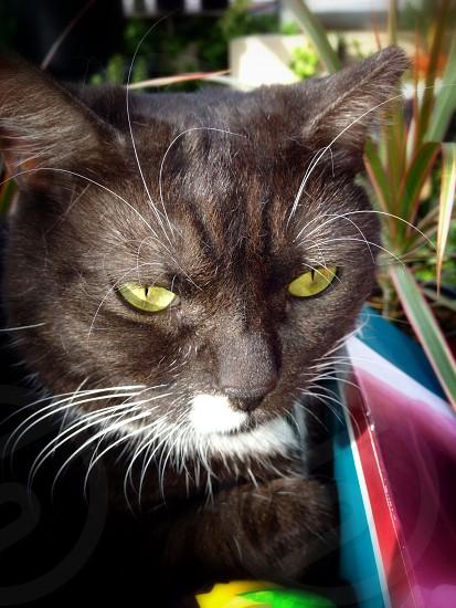 black tuxedo cat photo
